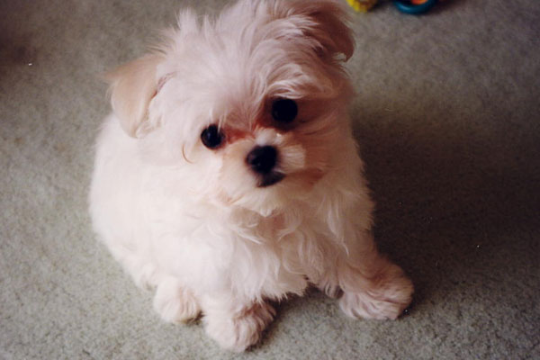 maltese puppy cut pictures